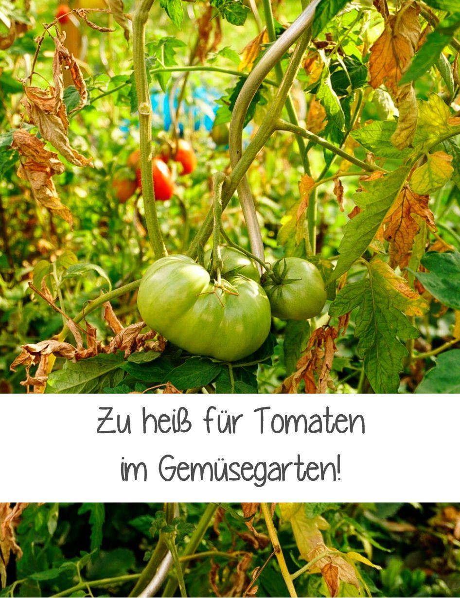 Zu Heiss Tomaten Hitze Balkon Gemuse Garten In Baden Baden Tomaten Gemuse Anbauen Palmkohl
