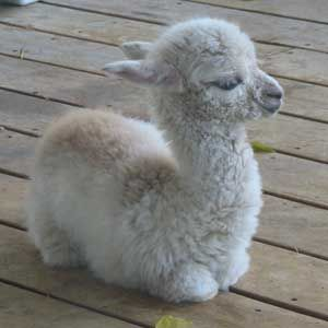 Baby Alpaca..soo cute!! I need at least 2 of them. They get sad if you only have one. And, Country Living Magazine says they make great pets. Pleaseeee Erik get me 2!