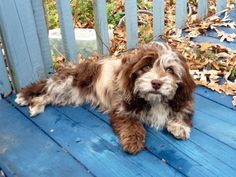 Image Result For Full Grown Cockapoos Chocolate Merle Yorkshire Terrier Yorkshire Terrier Puppies Morkie Puppies