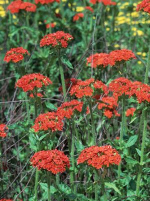 Maltese Cross Gorgeous Perennial Zones 4 10 Hummingbird