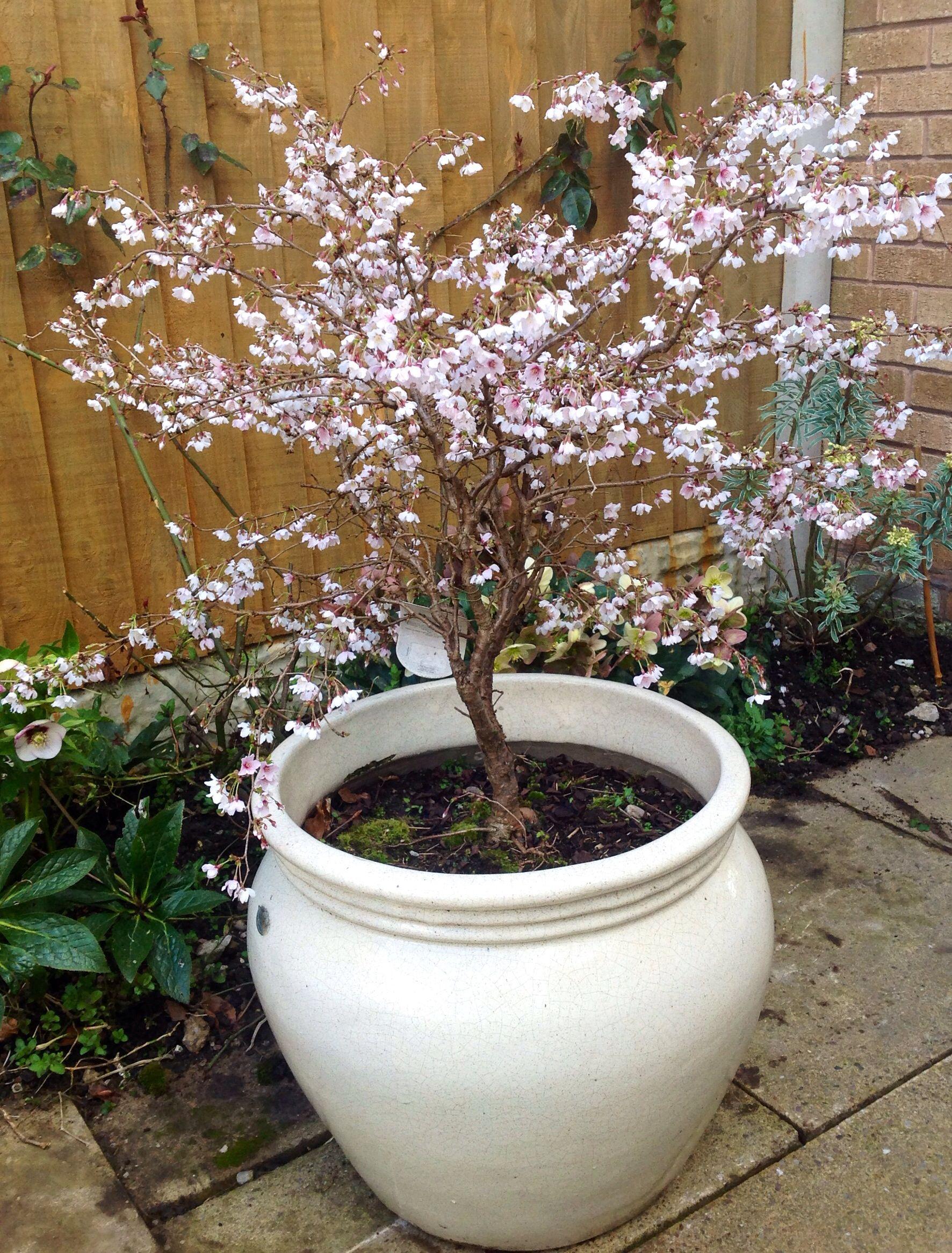 Prunus Kojo No Mai : prunus, Prunus, Incisa, 'Kojo, Mai'., Gorgeous, Small, Flowering, Cherry., Light, Dappled, Shade., Ea…, Ornamental, Trees,, Cherry, Tree,