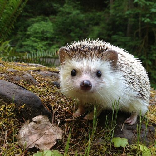 The little hedgehog alone in the forest, alone he takes some time to explore the nature around him.
