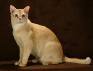 Red Burmese Cats Google Search Burmese Cat Cats And Kittens Dog Cat