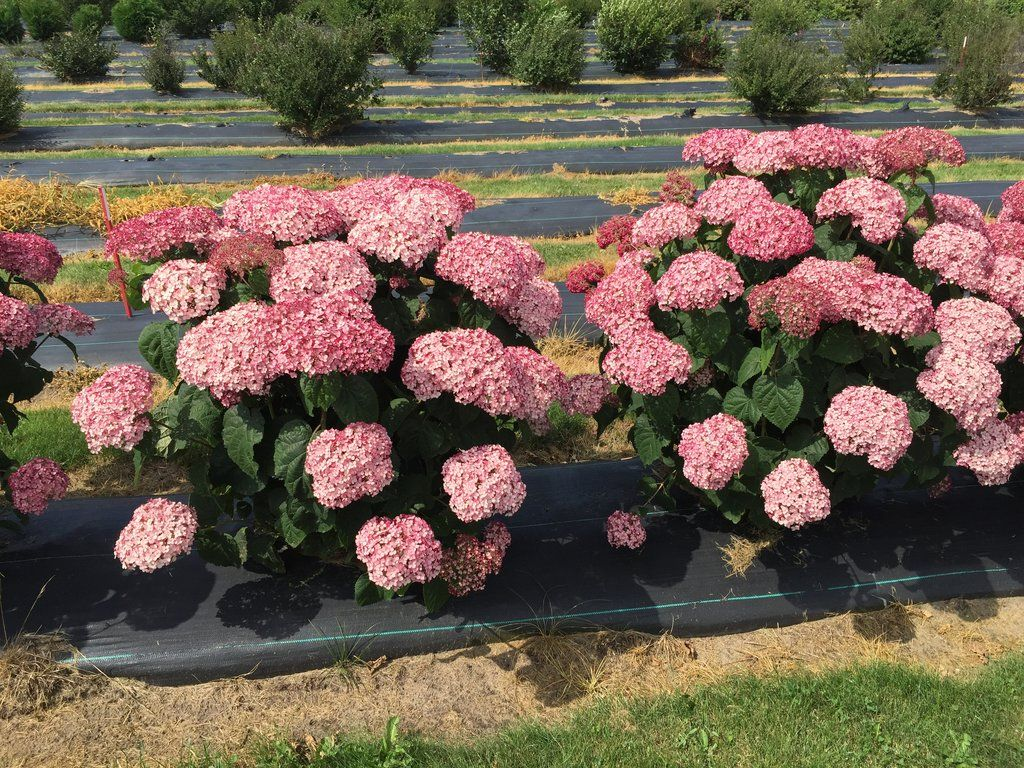 Hortensia Endless Summer Kopen Incrediball Blush Smooth Hydrangea Hydrangea Arborescens