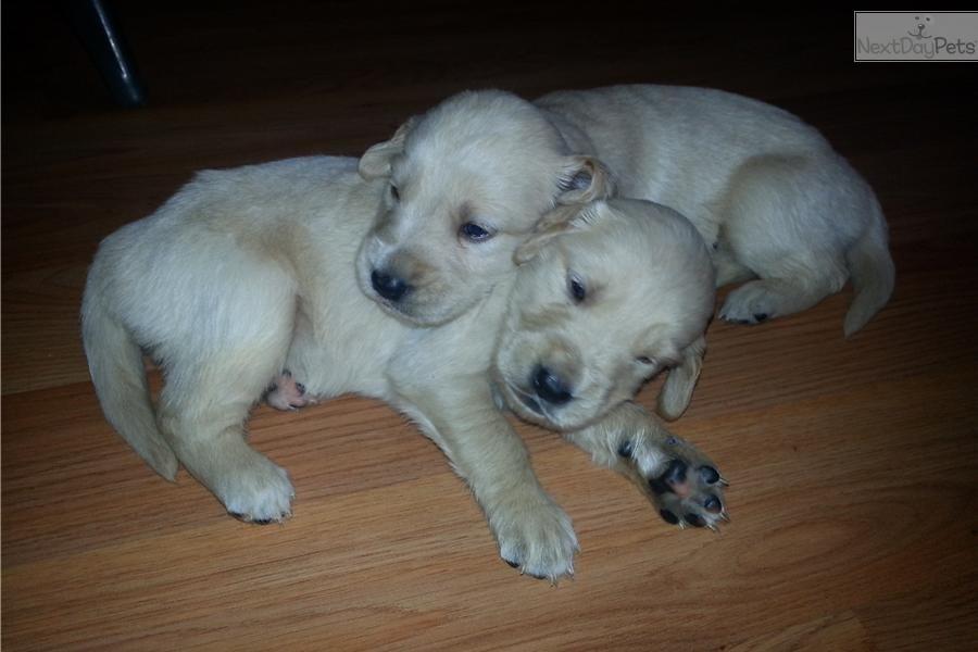 Meet Male A Cute Golden Retriever Puppy For Sale For 500 Golden