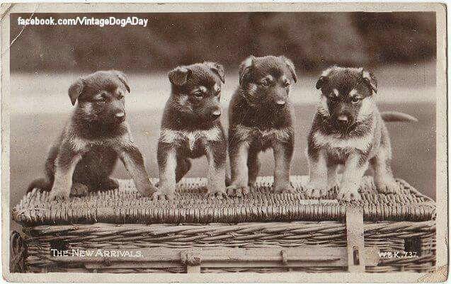German Sheppard 1915 Cat And Dog Photos German Shepherd Puppies