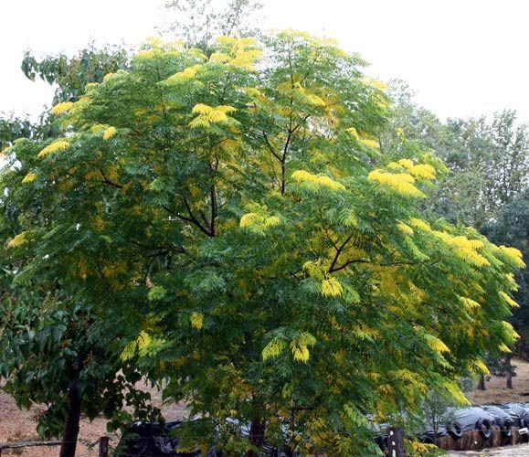 Trees For Small Spaces: Ornamental Tree Varieties :: Balingup Small Tree Farm