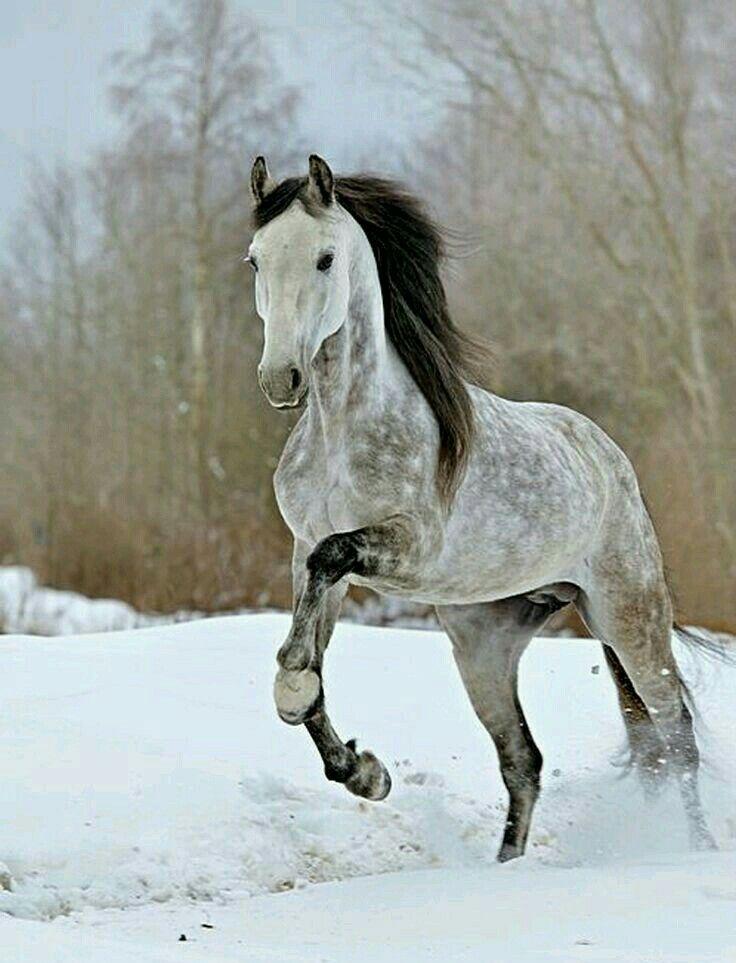 Epingle Par Lisa U Sur Chevaux Horse Cheval Gris Chevaux Gris Pommeles Cheval