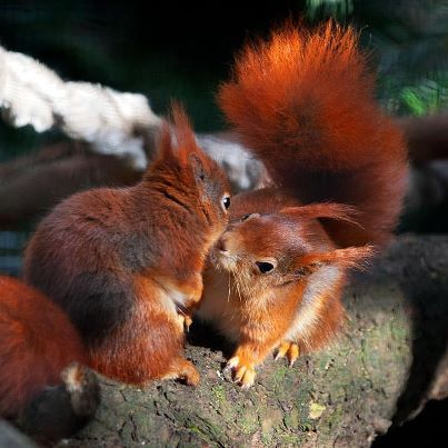 Baby Red Squirrels News Of