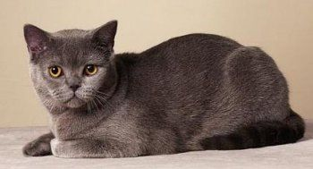 British Shorthair This Cat Breed Is Medium To Large Sized With A
