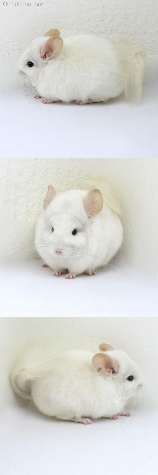 White Chinchilla Cute Little Animals Animals Beautiful