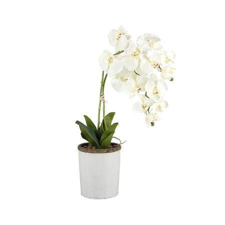 orchidee blanche comment l'entretenir