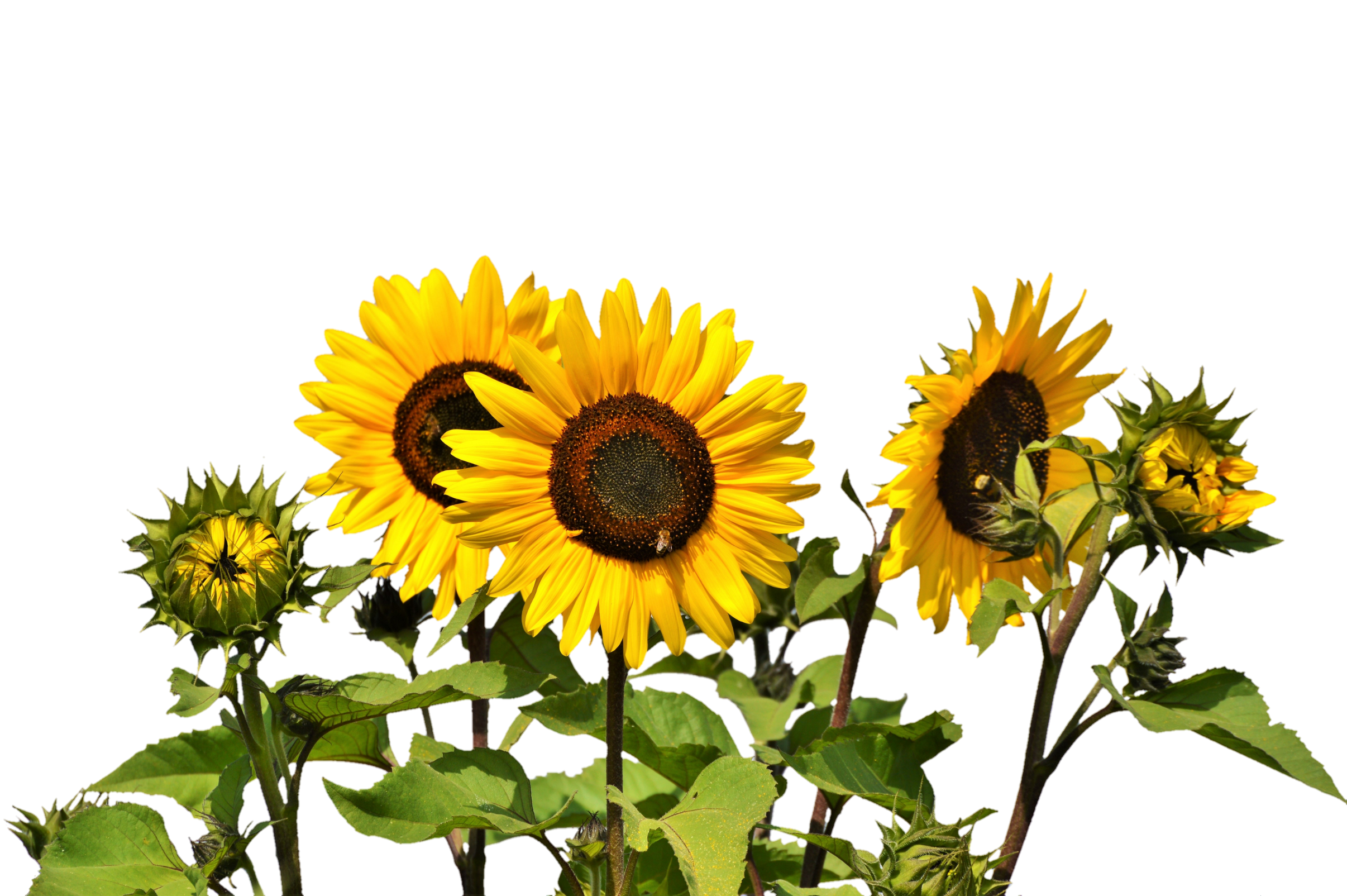 Sunflowers PNG Image Sunflower png, Yellow flowers