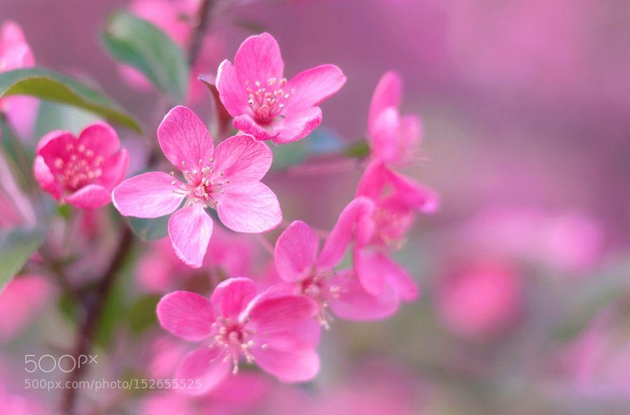 Pink Beauty by TatianaPesotskaya