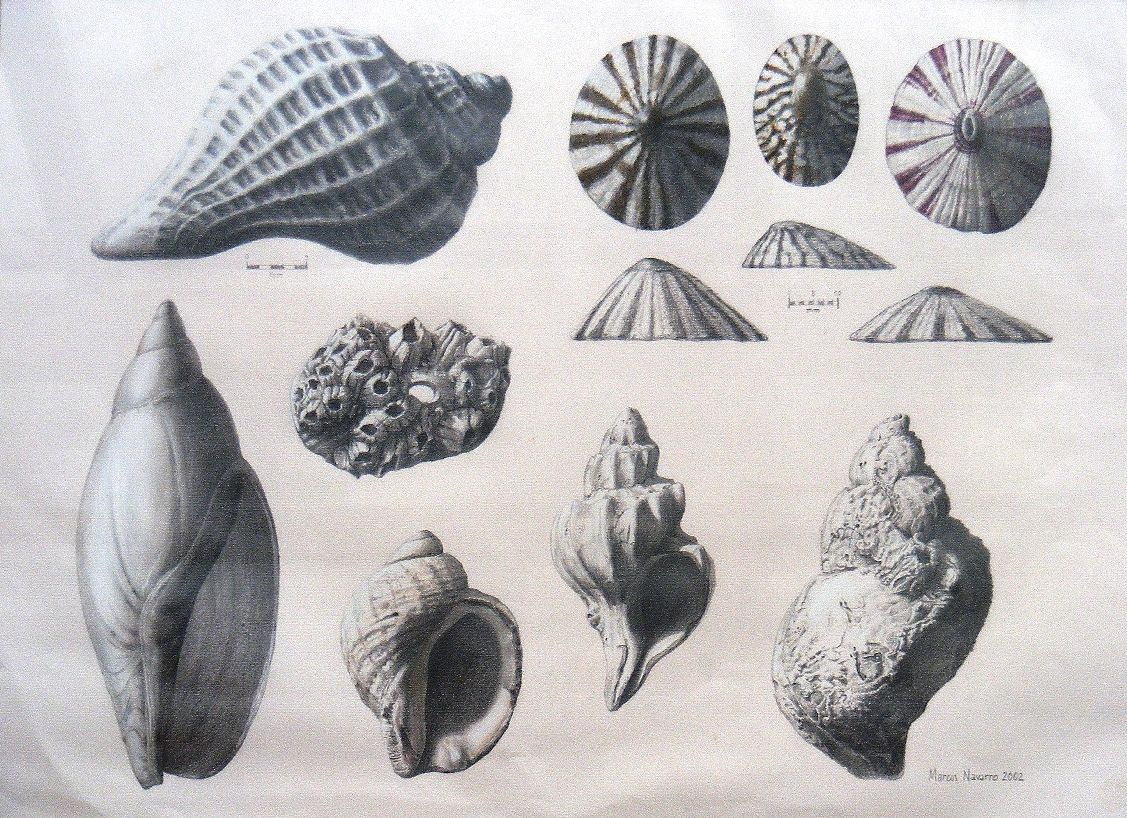 Caracolas Marinas Dibujos Antiguos Buscar Con Google Dibujos Caracoles Conchas Marinas