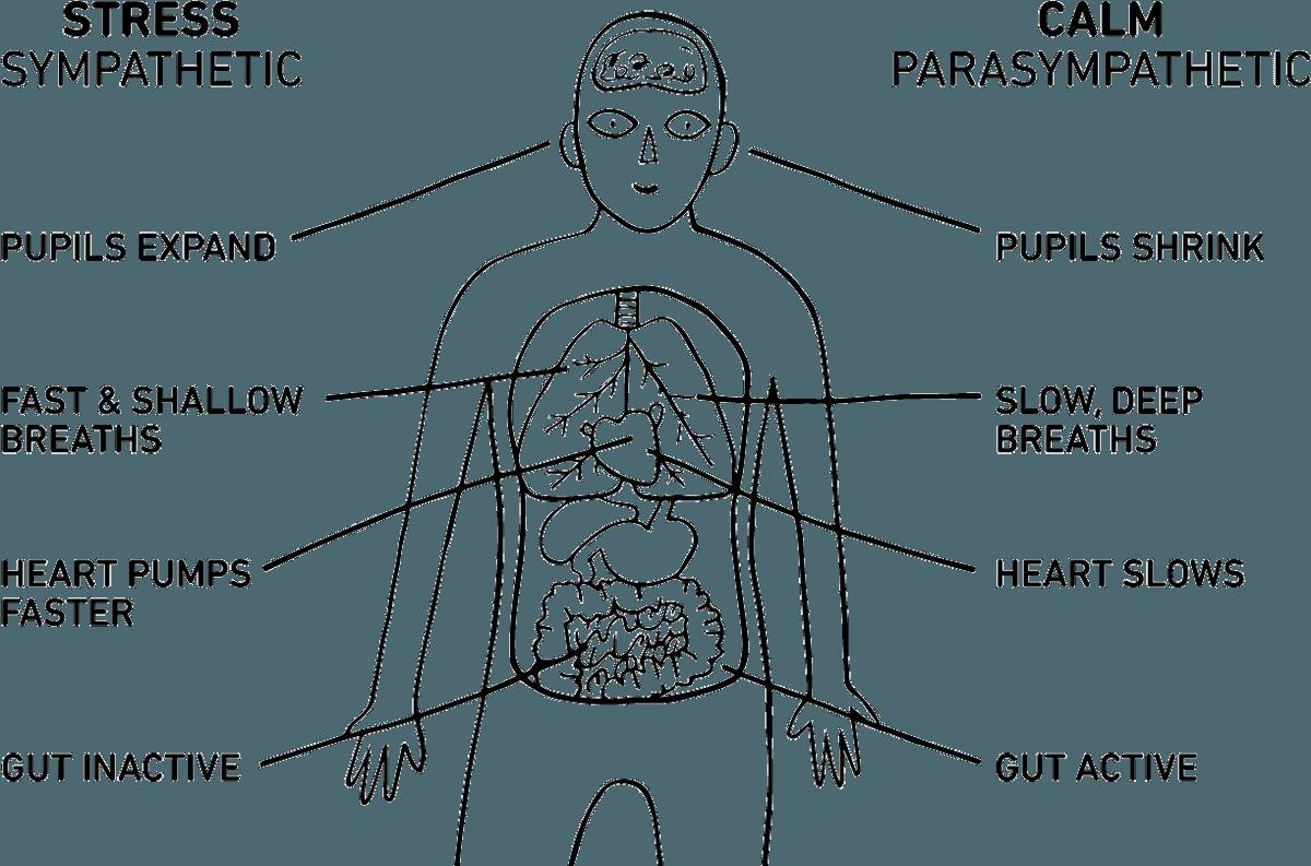 sympathetic nervous system vs parasympathetic nervous system