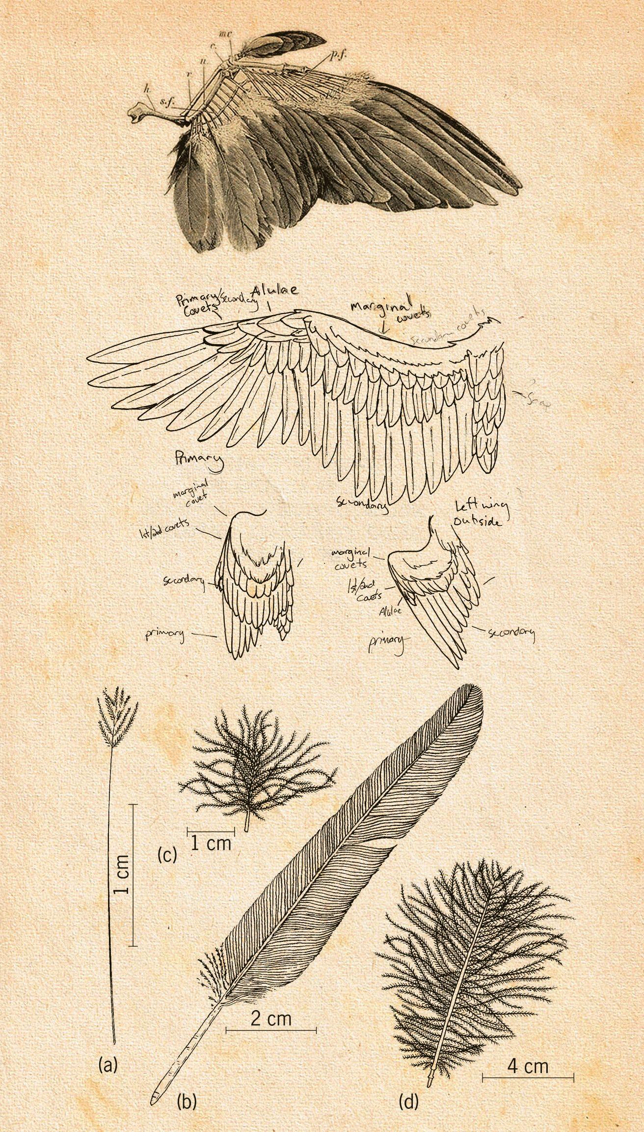 bird wings anatomy - HD1312×2303