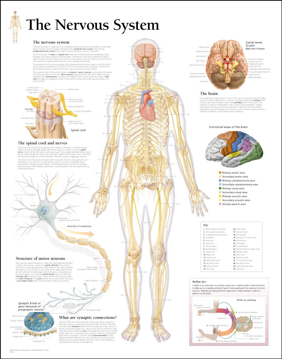 medium resolution of human body nervous system nervous system diagram nervous system anatomy nerves of the