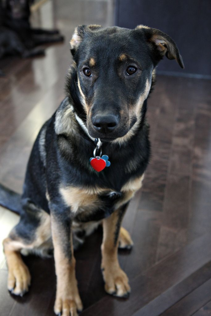 So Adorable German Shepard Black Lab Mix Like I Had As A Little