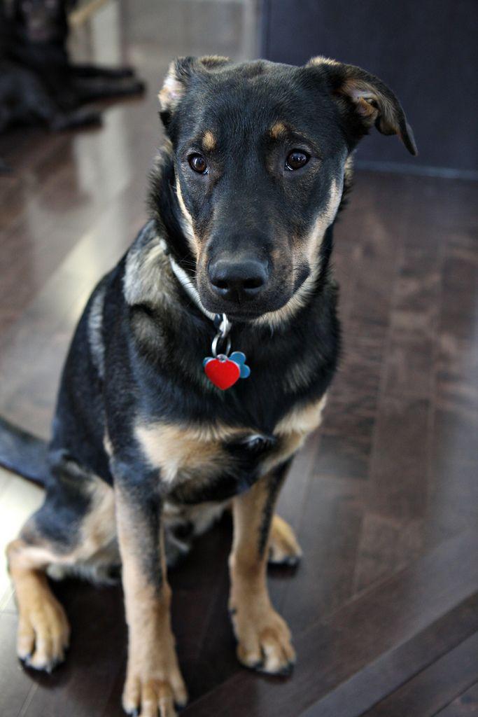 I Want German Shepherd Mix Anatolian Shepherd Dog German Shepherd Dogs