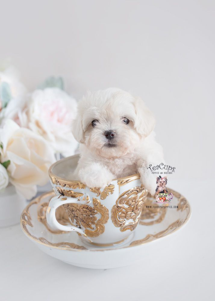 Maltipoo Puppy For Sale Teacup Puppies 303 A Teacup Puppies