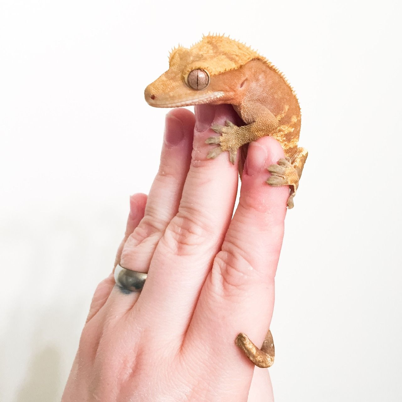 Little friendly gecko. He still doesn't have a name. - #crested #crestie #gecko #reptiblr
