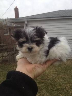 Toy Parti Morkie Puppy Morkie Puppies Cute Cats And Dogs Cute Baby Animals