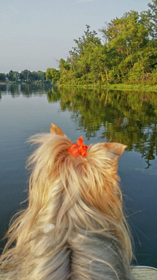 Boating With Dj On The St Joe River Yorkie Dogs Yorkshire
