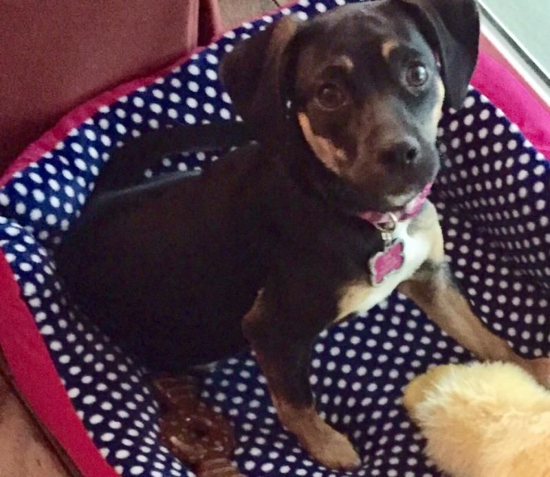 Adopt Browniie on Labrador retriever, Dogs, Labrador
