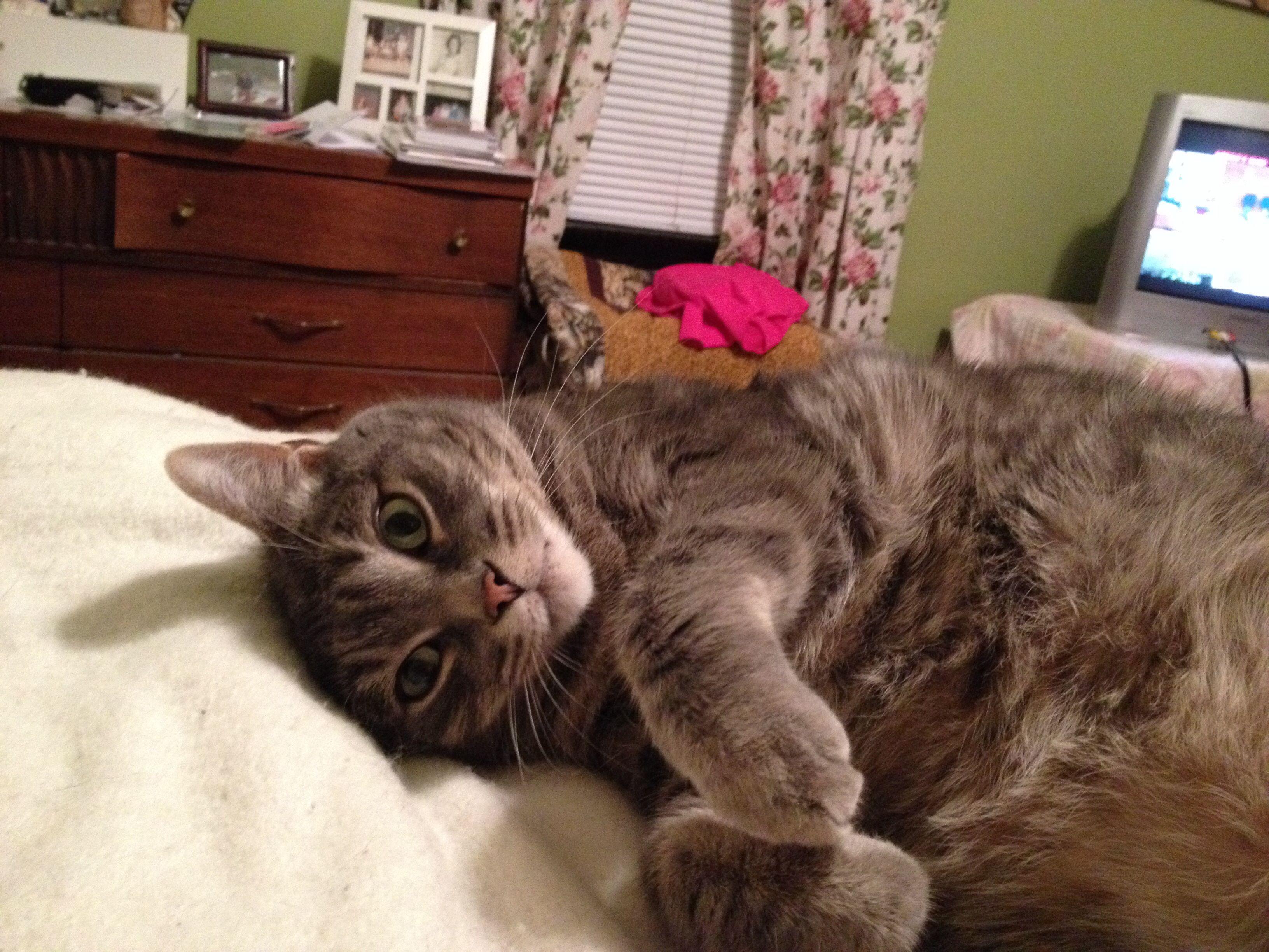 Buster Big Gray Kitty Grey Cats Cats Kitty
