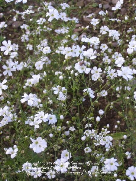 Baby S Breaths Plant Care And Collection Of Varieties Garden Org Baby S Breath Plant Plants Babys Breath
