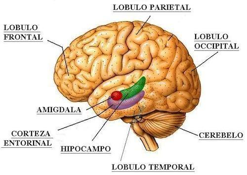 El cerebro y la función del hipocampo en la memoria ...