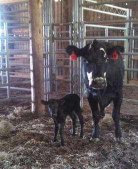 There are many cattle producers fall caving right now in Tennessee. Thanks to Janie Reynolds Yeargin for this photo of the addition to the herd! Send us your photos either on Facebook or tweet us: @TennesseeCattle