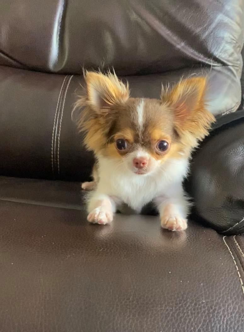 Pin On Long Haired Chihuahua