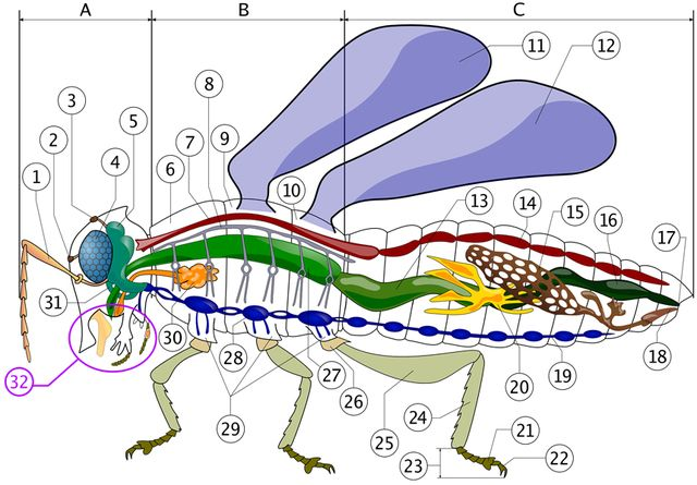 Color Diagrams of Insect Organs and Internal Structures ...