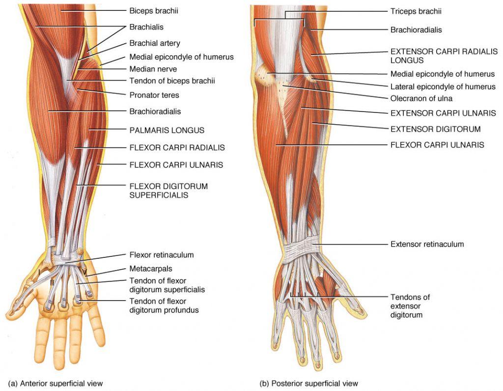 Forearm Tendons Anatomy Modelado Pinterest Anatomy Bones