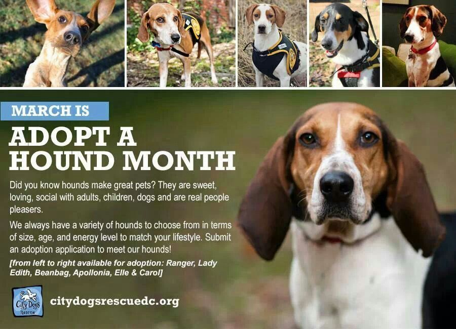 March Is Adopt A Hound Month At City Dog Rescue Please Consider