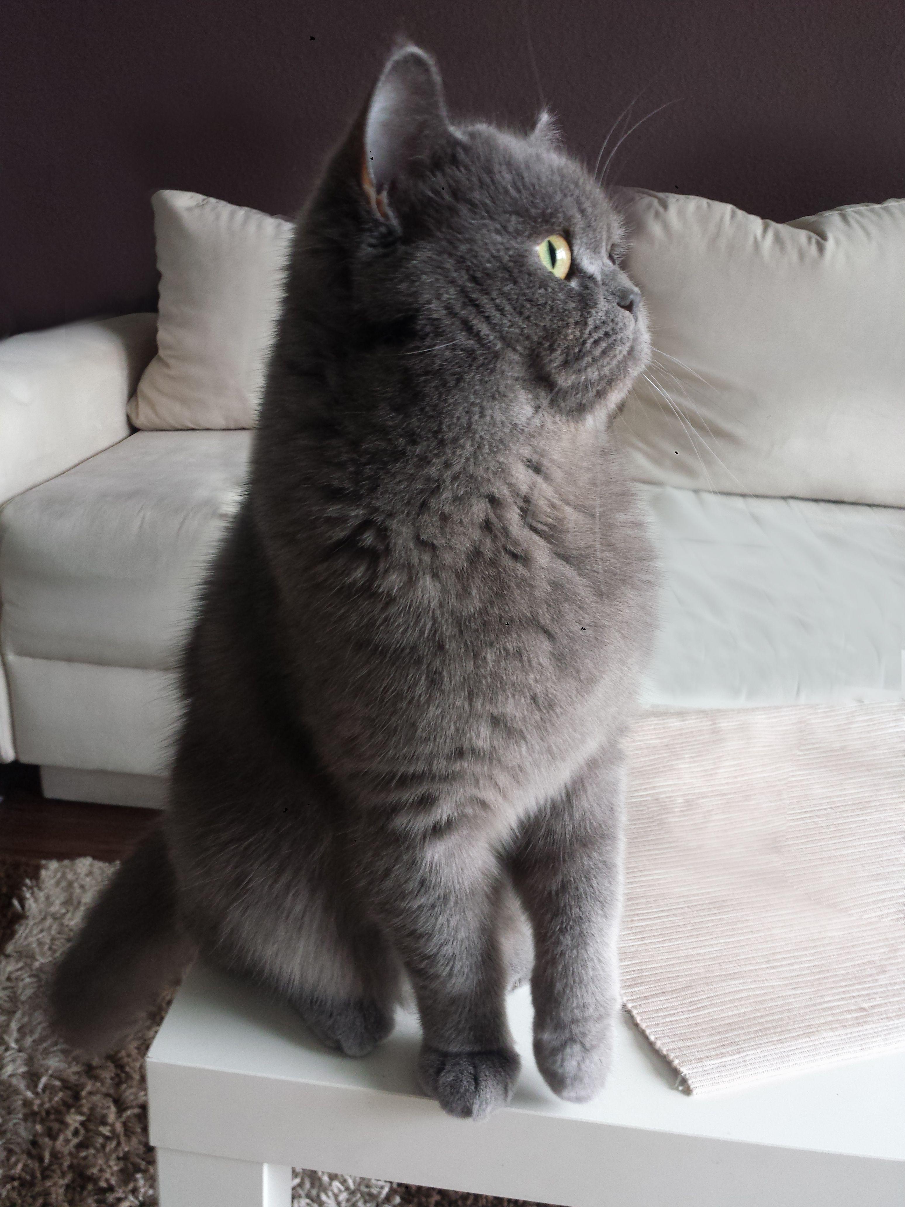 Britisch Kurzhaar Loui Katten