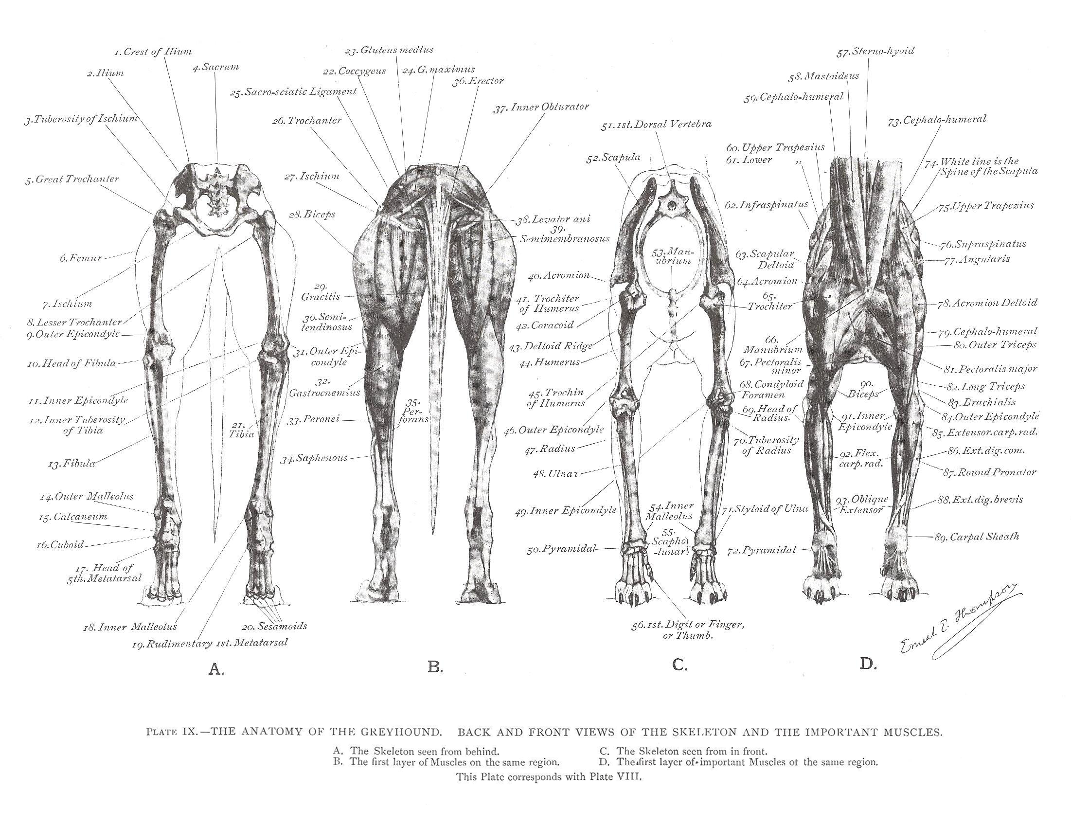 Greyhound Anatomy Diagram - Back and Front Views of the Skeleton and ...