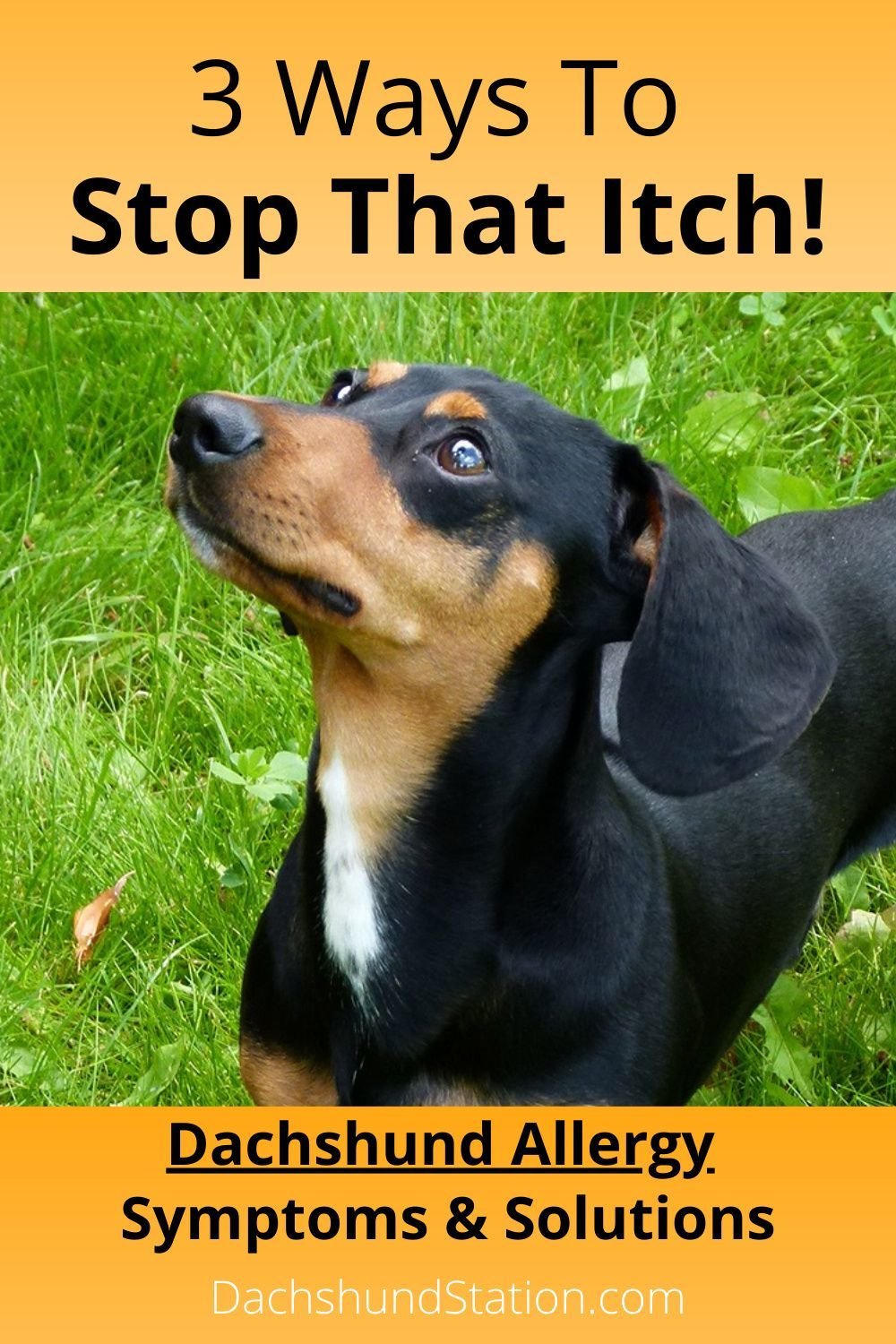 Itchy Dachshund Allergies 3 Solutions That Can Help