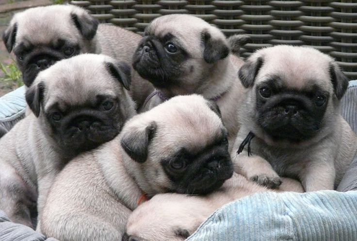 Teacup Chug Puppies Chug Puppies Cute Pug Puppies Cute Pugs