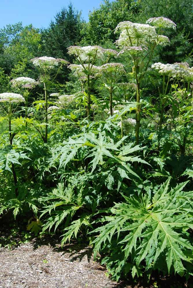Commonly Known As Giant Hogweed Or Wild Parsnip This Plant Is