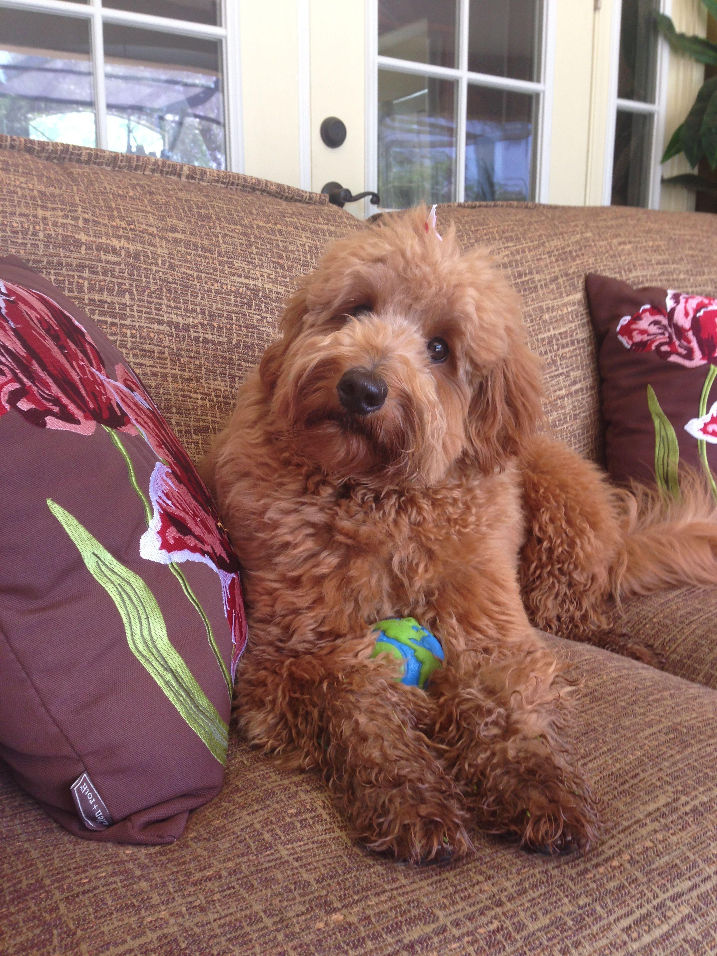 My Stella A Mini Goldendoodle Dog Friendly Apartments