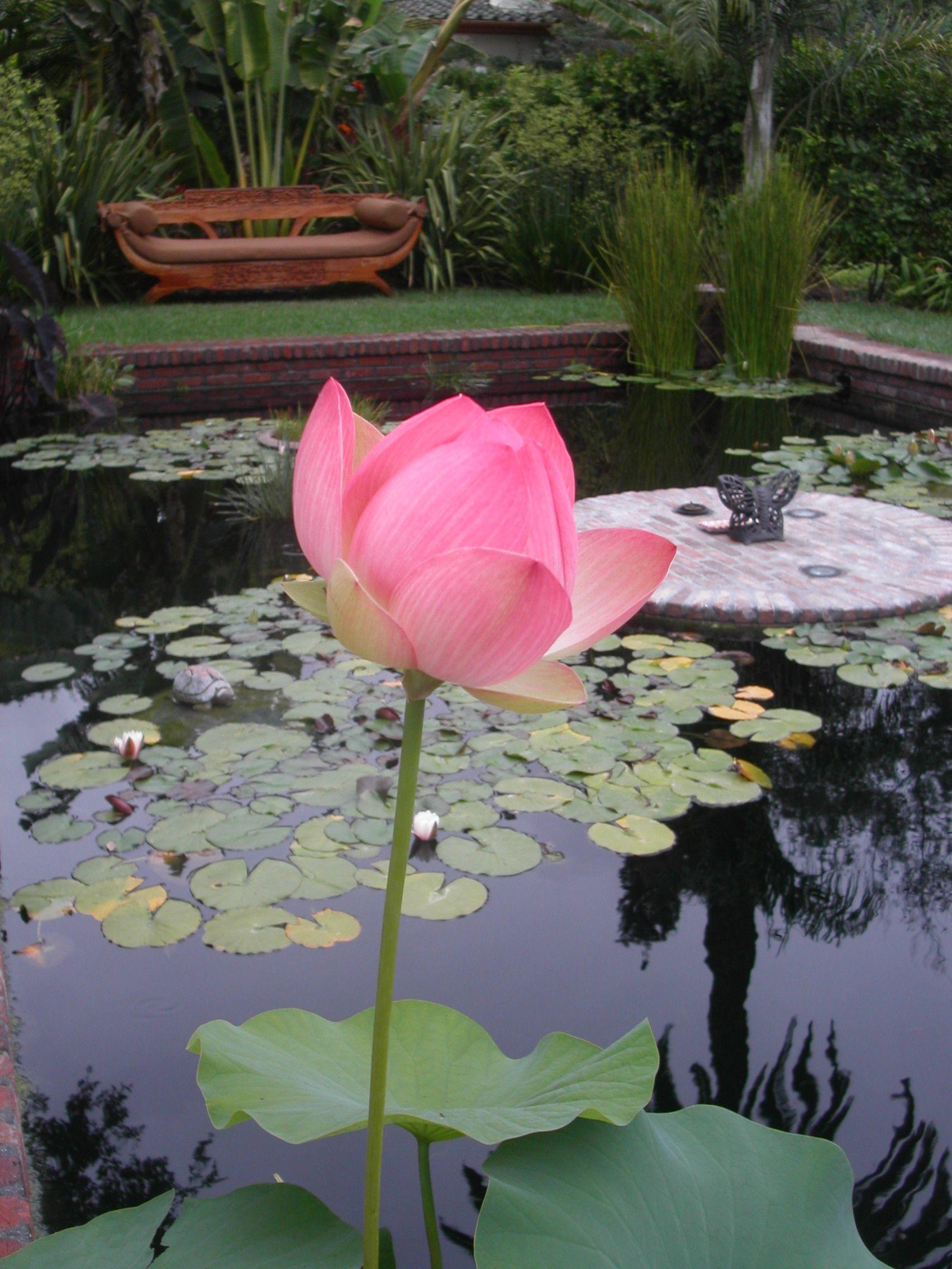 PGT: Prairie Garden Trust - Lotus Ponds