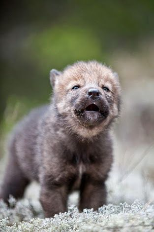 Image Result For Baby Wolf Baby Animals Cute Dogs Breeds Animals