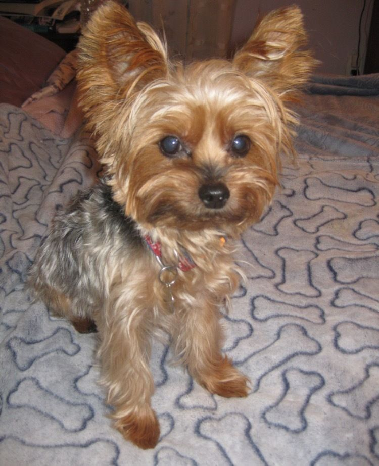 Adopt Coco On Yorkshire Terrier Terrier Yorkshire Terrier Dog