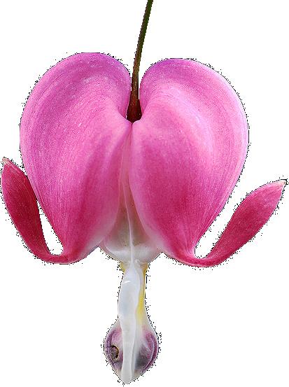 Transparent Flowers Bleeding Heart Lamprocapnos Spectabilis X Transparent Flowers Bleeding Heart Bleeding Heart Flower