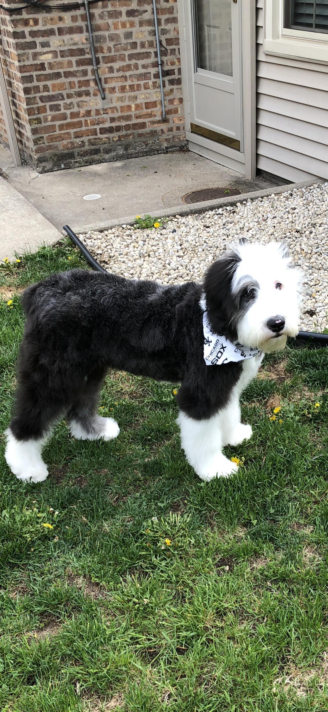 Max first haircut | My Old English Sheepdog | English sheepdog, Old