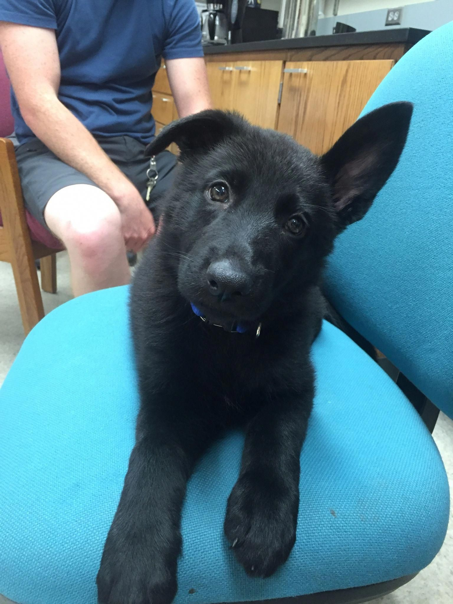 All About The Confident German Shepherd Puppy Exercise Needs