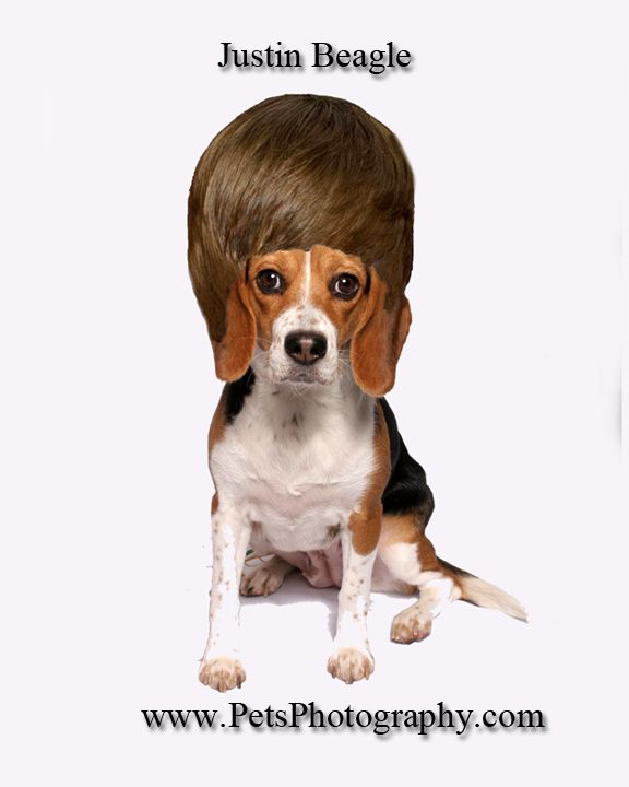 Beagle With Beiber Hairstyle Pet Photography Studio Beagle Pets